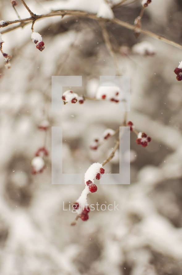 snow on red berries