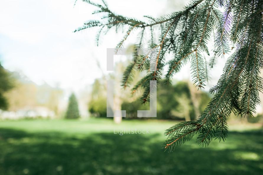 green evergreen needles