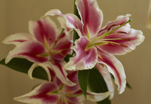 pink and white lily
