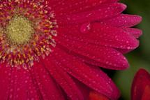 dew on a gerber daisy