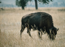 grazing buffalo