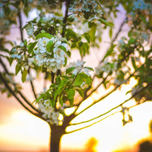 white spring blossoms on a tree at sunrise