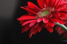 red gerber daisy in a flower arrangement
