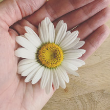hand holding a white daisy