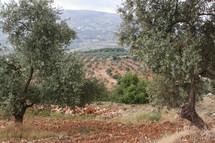 Olive trees on a hillside in Jordan