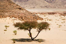 Acacia tree in the Sinai Desert.