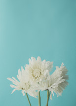 white flowers against a blue background
