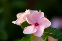 Pale pink flower with green leaves