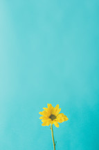 single yellow flower against a blue background