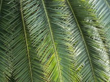 Palm Frond branches hang from a palm tree drenched in sunlight on a tropical sunny day with a cool breeze.