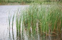 tall grass on a pond's ege