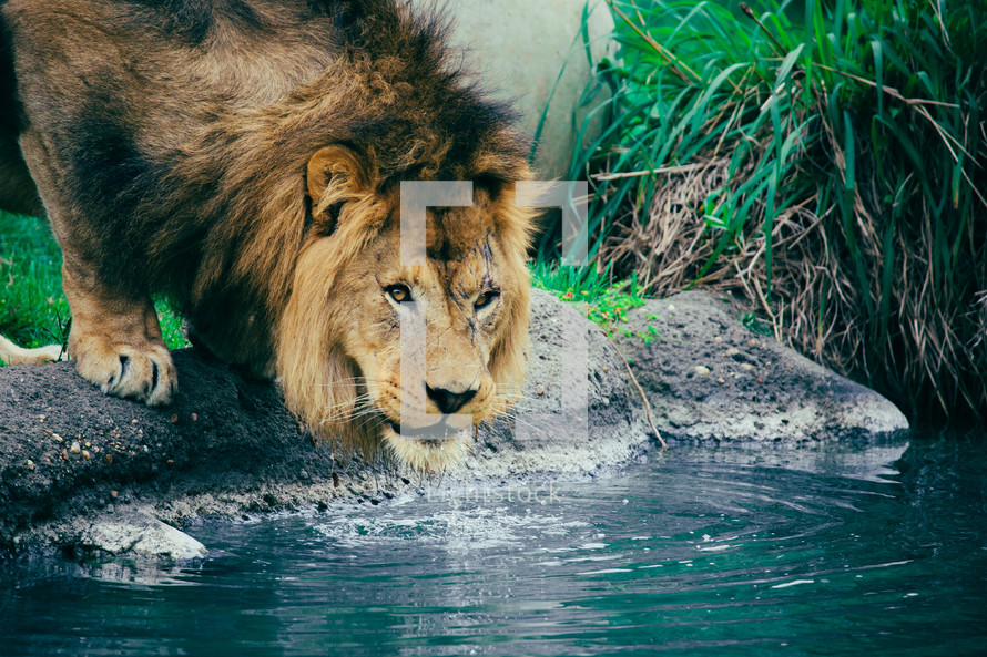 Scarred lion drinking water