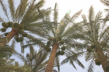 tops of palm trees in Egypt