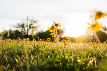 yellow flower under sunlight low perspective of field grass sunset
