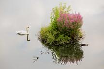 swan on a pond