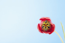 Red tulip flower on blue background.