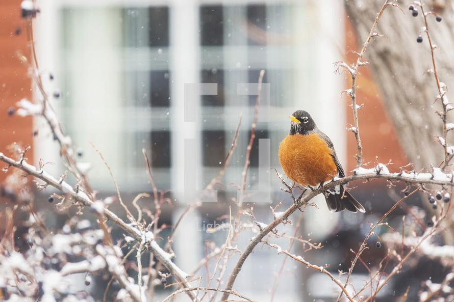 robin in a winter tree