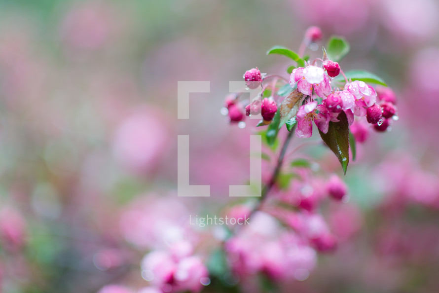 wet spring blossoms