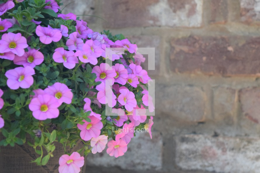 potted pink petunias against a brick wall