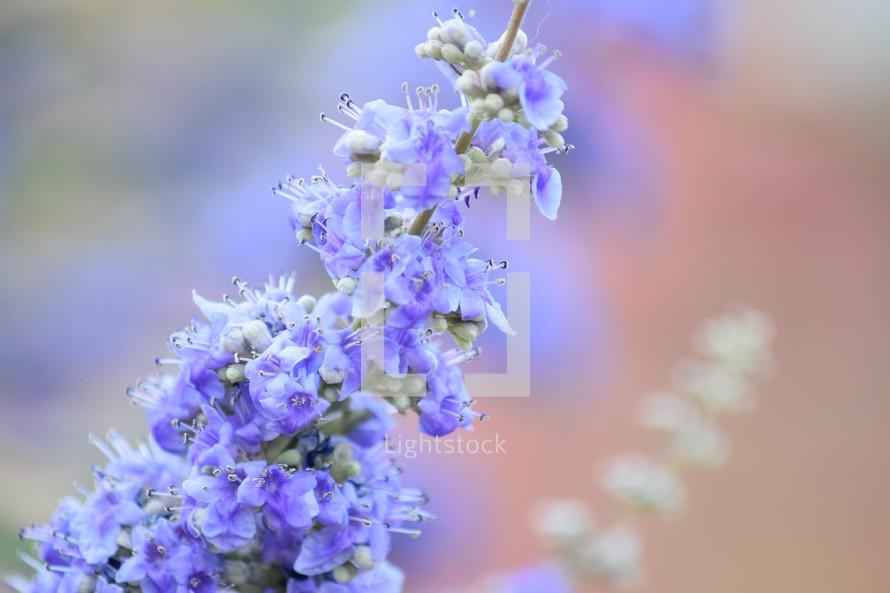 purple spring desert flowers