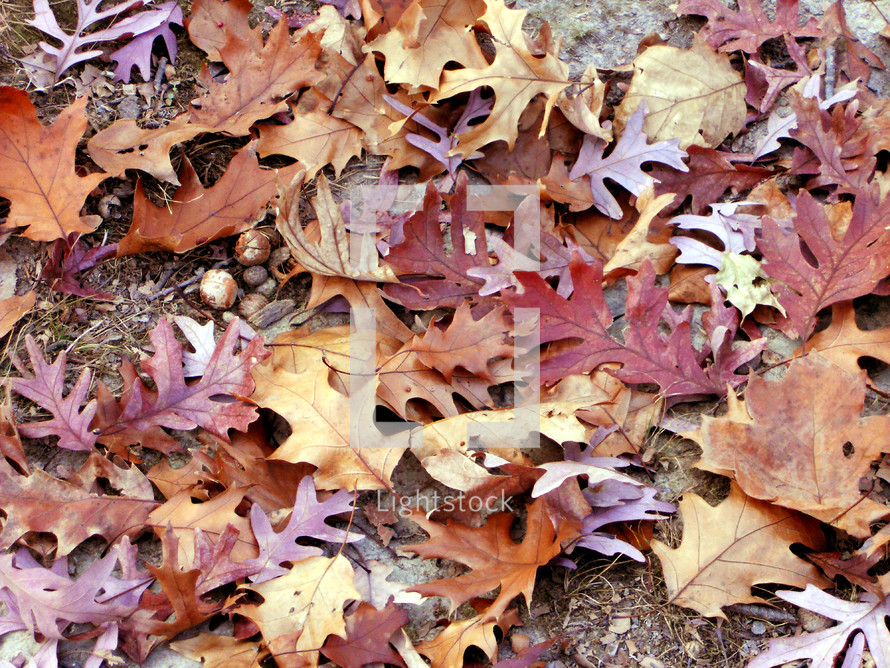 Fallen oak leaves cover the forest path.