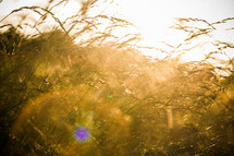 Grass with a sun flare behind it. Essence of light coming into the harvest. 