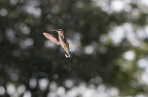 A hummingbird hovers in mid-air.