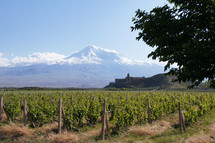 field of grape vines with snow covered mountain peak in the distance: Mt Ararat