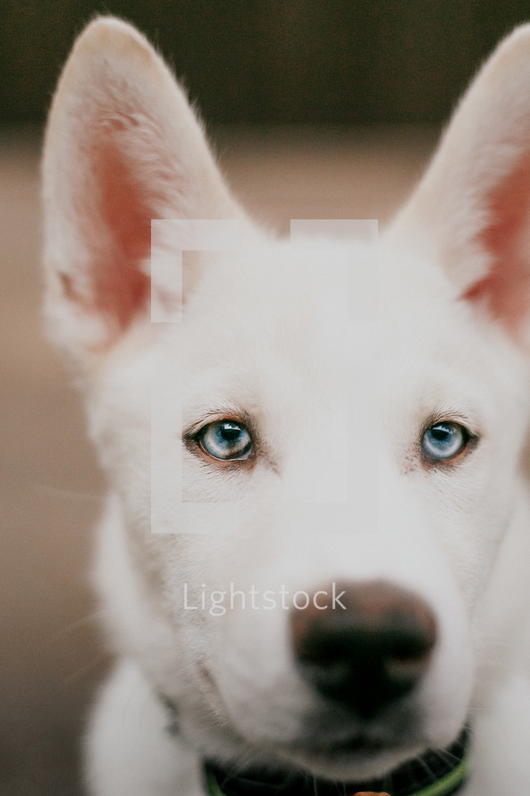 white puppy with blue eyes