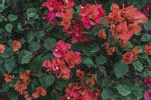 coral and fuchsia flowers on a bush