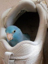 A Pacific Blue Parrotlet Parrot peers out from playing in a tennis shoe with a curious look on its face after playing and having fun exploring in a shoe. Birds make wonderful pets and shoe great love, trust and friendship to their human owners. One cannot help but wonder how the animals just have bonded with Adam and Even in the Garden of Eden. Animals then had no fear of men and could talk and fellowship with humans so there was no lack of communication, companionship or lack of trust in God's perfect creation. When we find loving animals as pets,  it is a reminder of the time when God created all of Creation and all of nature was in harmony together.