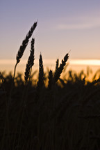 Wheat close up silhouette at sunset.
