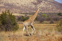 Giraffe. Africa Savannah Bush Animal