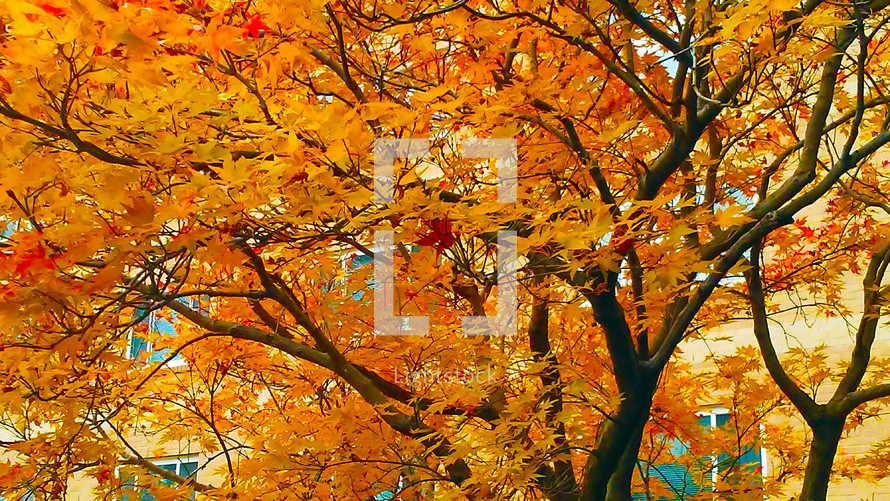 A tree with golden yellow and orange leaves adorns the horizon in the fall time in Virginia at the height of Autumn when Seasons change and the weather begins to turn colder.