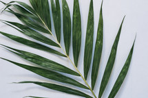 palm frond against a white background