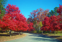 Fall in Virginia. A row of red leafed trees in the fall in Virginia. along a winding road.