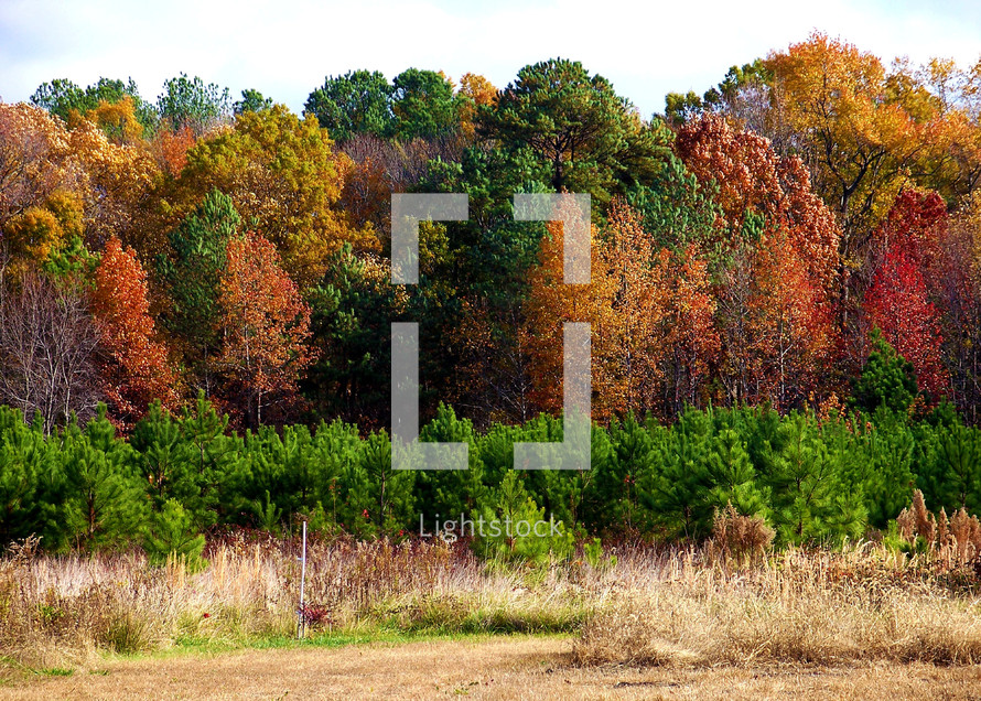 The fall trees in a forest overlooking a field with colorful trees and leaves ranging from red to orange showing that fall has finally arrived.