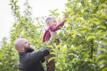 father lifting his son to pick and apple