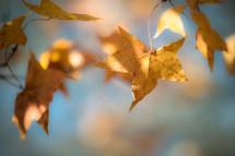 sunlight shining on golden fall leaves