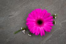 fuchsia gerber daisy