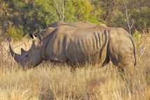 Rhinoceros. Endangered species. Africa Savannah.