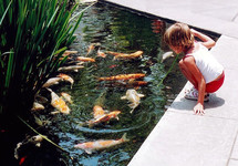 A young girl watching fish in a Koi pond  while sitting on a concrete ledge. I photographed this young girl while on vacation in Newport Beach, California back in 2005 and it is still one of my favorite photographs just because of the rich colors and seeing a young child at play with these beautiful and colorful fish. Some thing we all have done or would love to do in our spare time captured in time for all to enjoy.