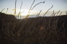tall coastal grasses at sunset