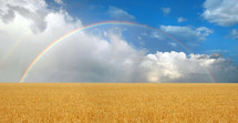 rainbow over a wheat field