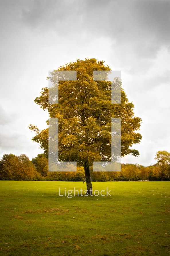isolated tree in a field - summer