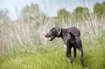 a dog running in field