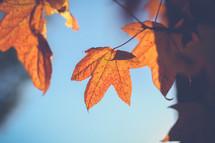 Orange fall leaves against a blue sky.