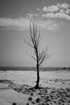 a bare tree on a beach