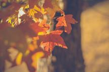 Sunshine on colorful fall leaves.