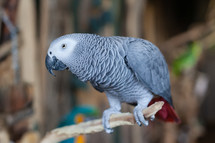 African Grey Parrot looks on and about to squawk